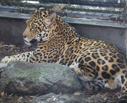 В зоопарке США ягуар загрыз шестерых соседей.Вокруг Света. Украина