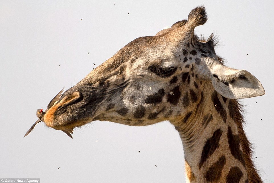 Так вот как жирафы чистят зубы! (фото)