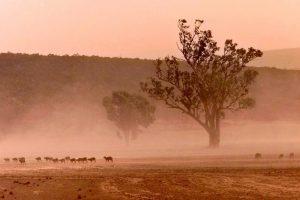 В Австралии страшная засуха: сотни коров окружили грузовик с водой (видео)