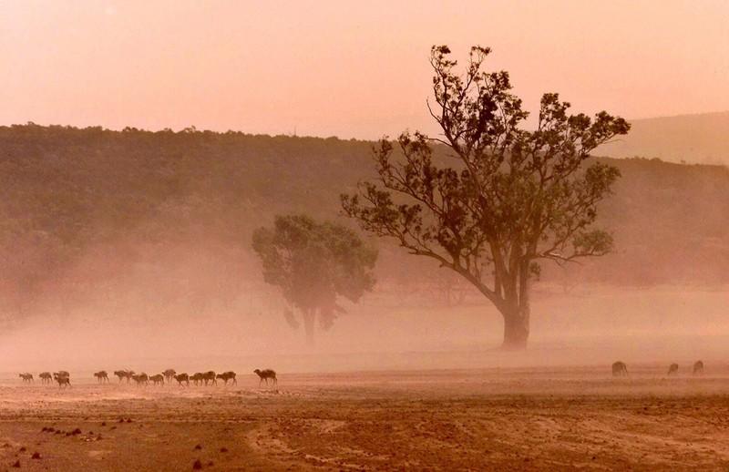 В Австралии страшная засуха: сотни коров окружили грузовик с водой (видео).Вокруг Света. Украина
