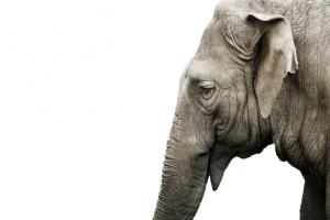 Человек и слон: 10 фактов о самых больших наземных млекопитающих планеты