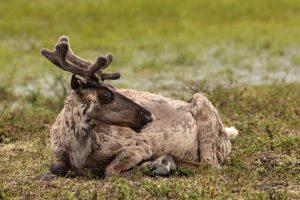 В Швеции из-за засухи голодают олени