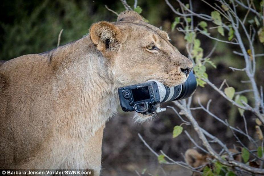 В Ботсване львица обокрала туристку