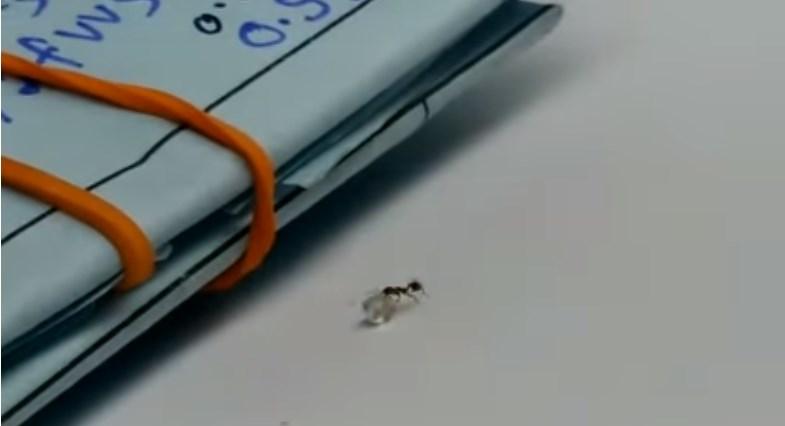 В итальянском магазине муравей пытался украсть бриллиант