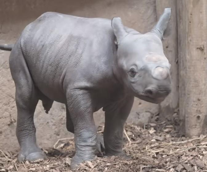 В Великобритании родился редчайший черный носорог.Вокруг Света. Украина