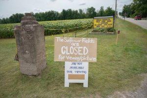 В Канаде поле подсолнухов оккупировали 7 тысяч любителей селфи