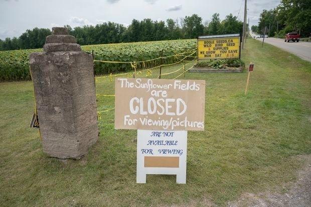 В Канаде поле подсолнухов оккупировали 7 тысяч любителей селфи.Вокруг Света. Украина
