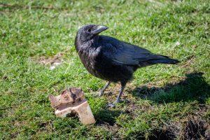 Во французском парке вороны начнут работать уборщиками