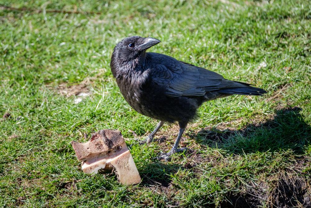 Во французском парке вороны начнут работать уборщиками.Вокруг Света. Украина