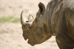 В Мексике носорог напал на авто с семьей