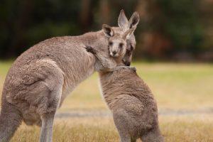 В Австралии из-за засухи будут убивать кенгуру