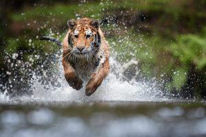 Тигров на Суматре спасут с помощью метода