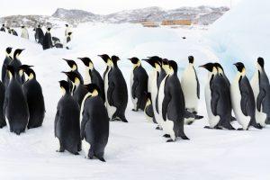Крупнейшая колония королевских пингвинов сократилась в 10 раз