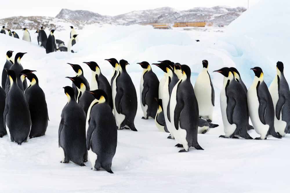 Крупнейшая колония королевских пингвинов сократилась в 10 раз.Вокруг Света. Украина