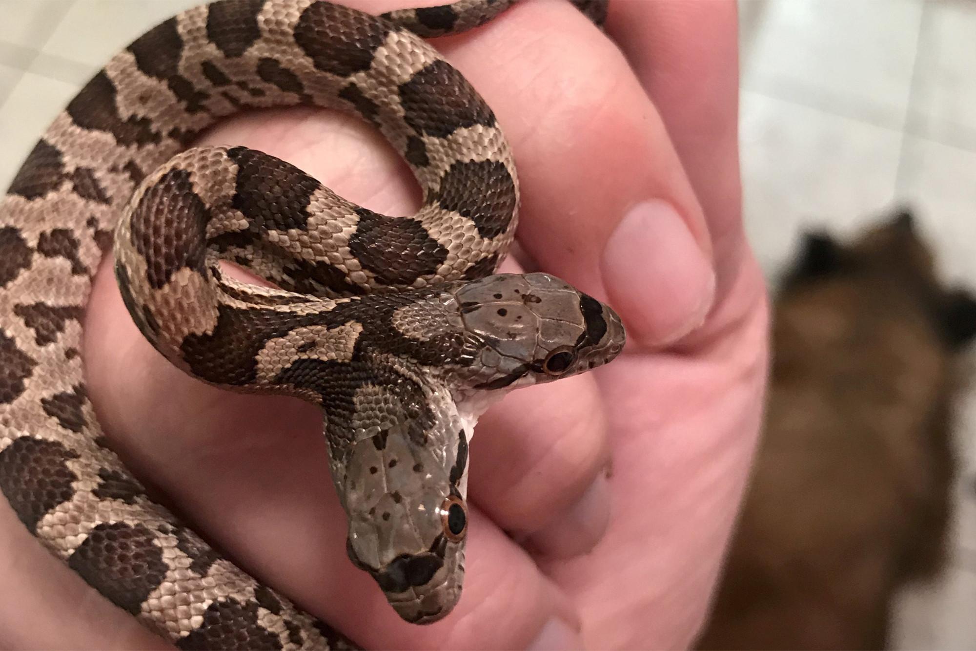 Американка нашла у себя во дворе редкую двухголовую змею