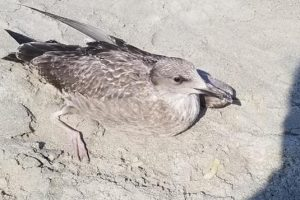 В США оштрафовали мужчину, который пнул чайку