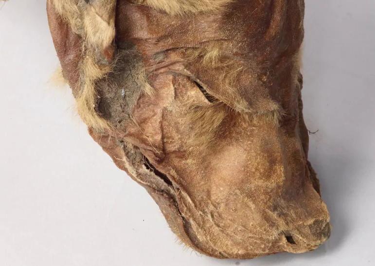 В Канаде нашли уникальную мумию волчонка ледникового периода