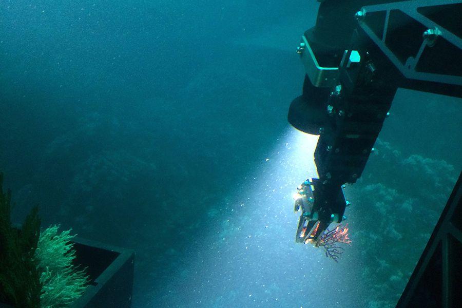 В Панаме открыли новый вид кораллов