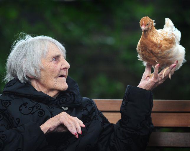 Британским пенсионерам вместо котов предлагают гладить кур