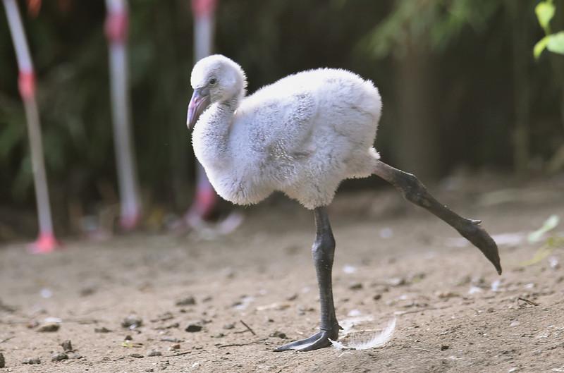 В Пражском зоопарке птенцов фламинго учат ходить
