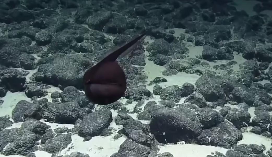 На дне океана нашли рыбу, состоящую из рта и хвоста