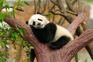 Ученые выяснили, почему панды так одиноки