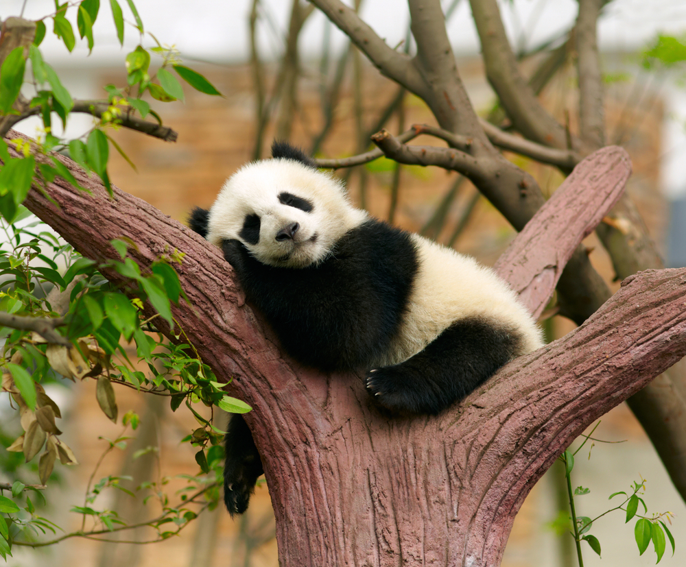 Ученые выяснили, почему панды так одиноки.Вокруг Света. Украина
