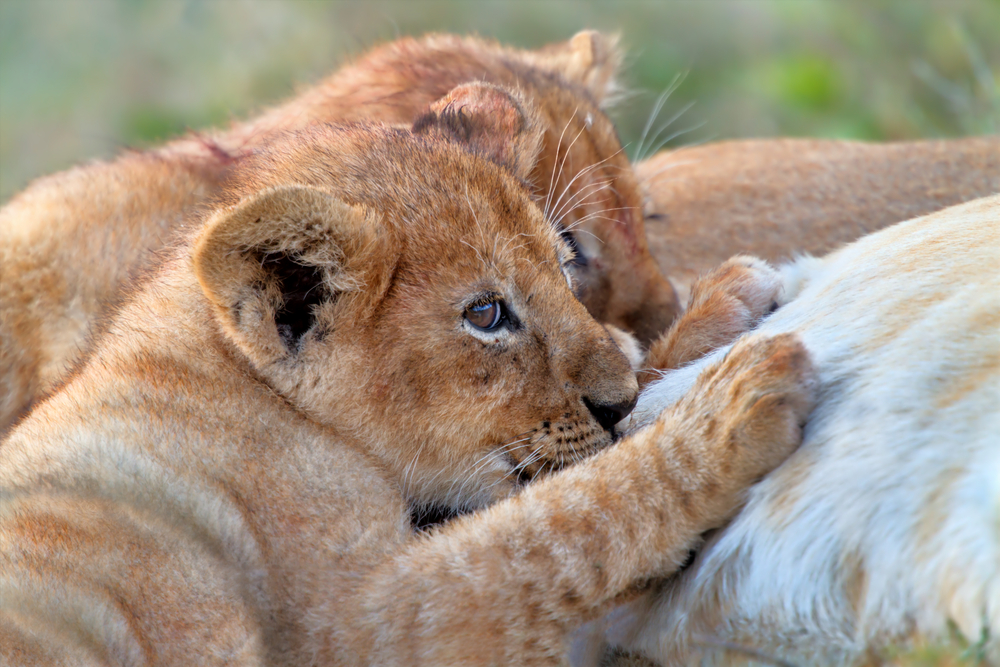 В Южной Африке впервые в мире родились львята из пробирки