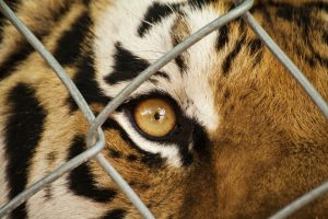 В индийском зоопарке собираются поставить клетки для людей