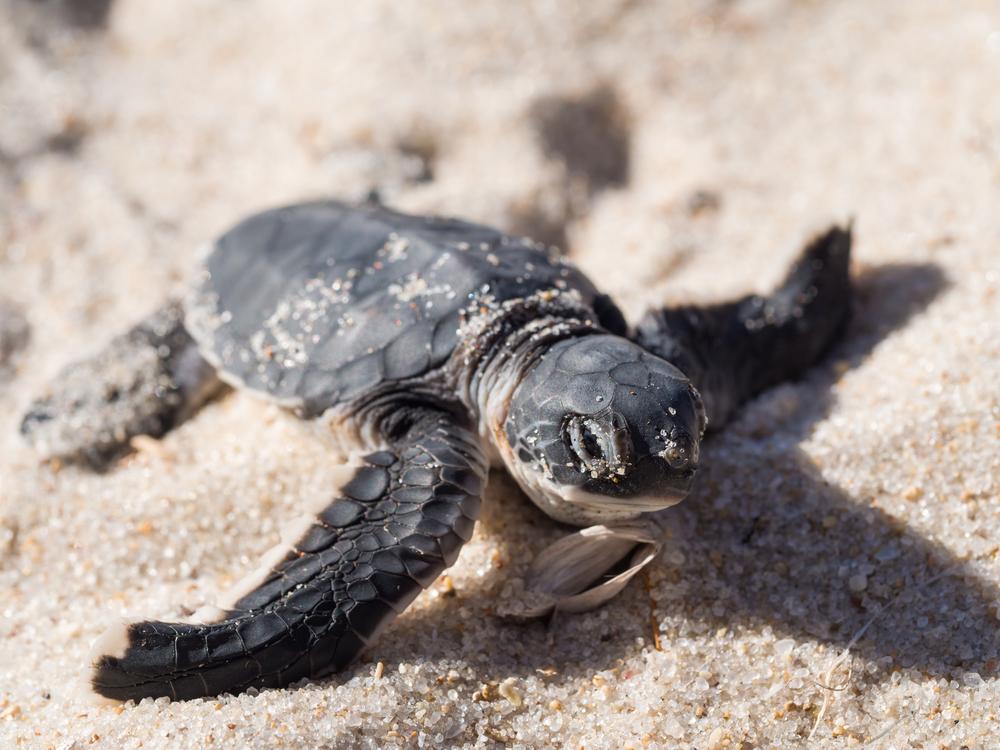 50% морских черепашат погибают, объевшись пластика