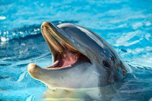 В Шотландии дельфин выучил язык морских свиней