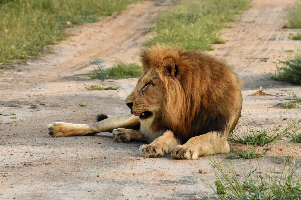 В Кении корова убила напавшего на неё льва