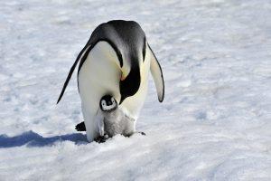 Пингвины-геи похитили детеныша у пары гетеросексуалов