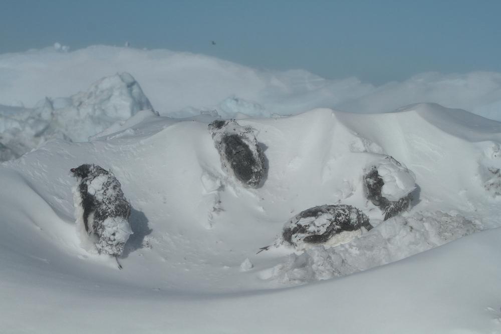 В Антарктиде обнаружили мумии средневековых пингвинов