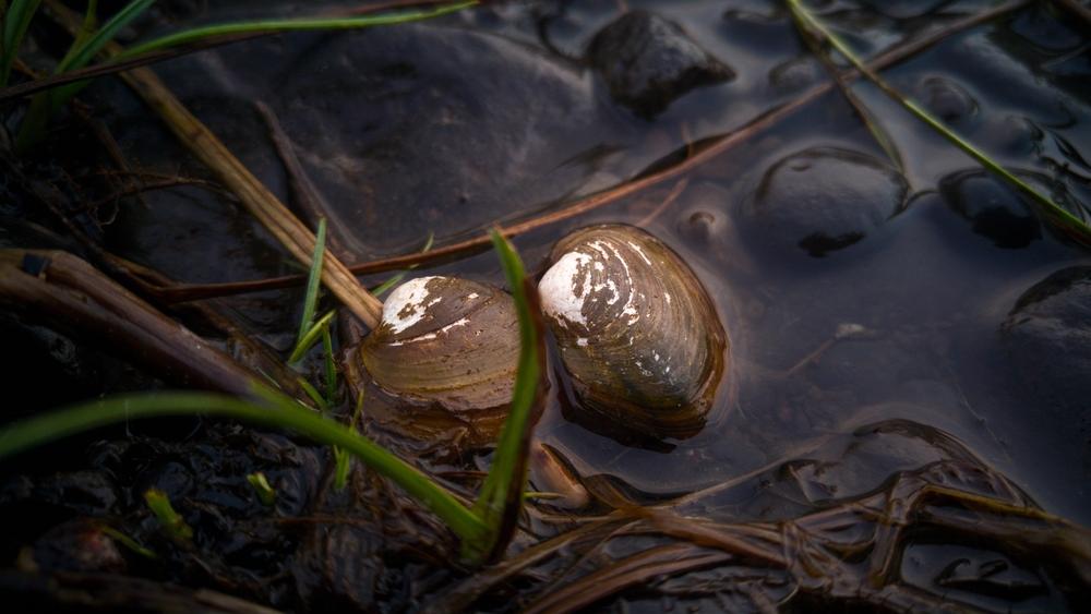 Устрицы помогут найти нефтяные пятна в океане