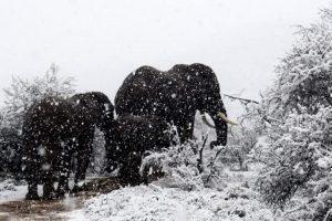 В Африке слонов засыпало снегом