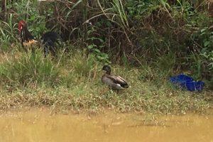 Обнаружена самая одинокая утка в мире