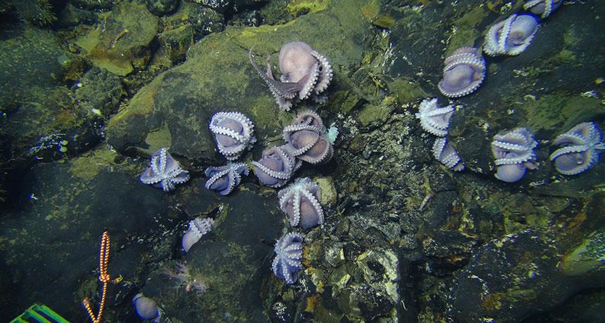 Детский сад для осьминогов: океанологи обнаружили глубоководный роддом