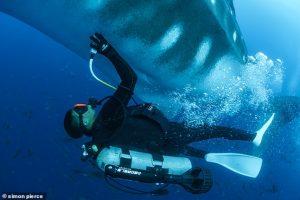 Морские биологи сделали УЗИ китовой акуле