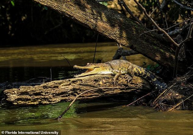 Биологи обнаружили в Африке новый вид крокодилов