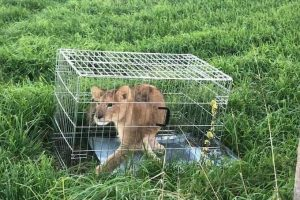 Из жизни голландской глубинки: вышел на пробежку и нашел льва