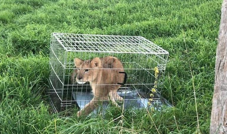 Из жизни голландской глубинки: вышел на пробежку и нашел льва.Вокруг Света. Украина
