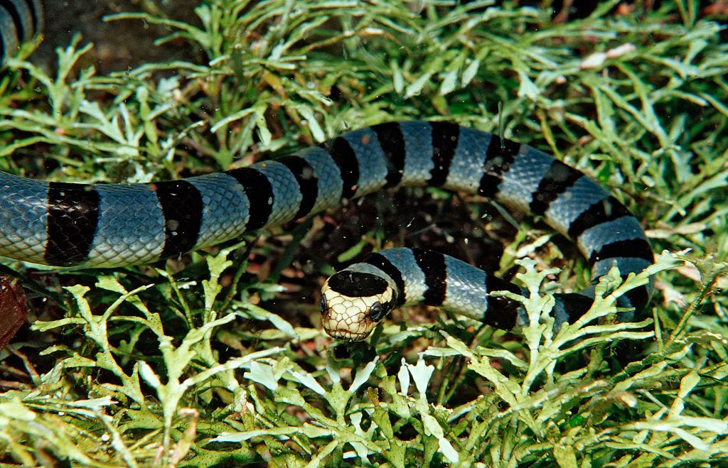 В Австралии от укуса морской змеи впервые погиб человек