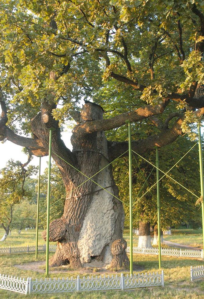 В Украине стартовала акция по высадке деревьев, которые «помнят Шевченко».Вокруг Света. Украина