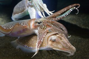 Ученые прочитают мысли каракатицы по рисунку на коже
