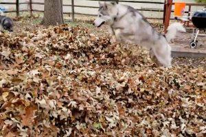 Будь как хаски: собака показала, что осень бывает веселой