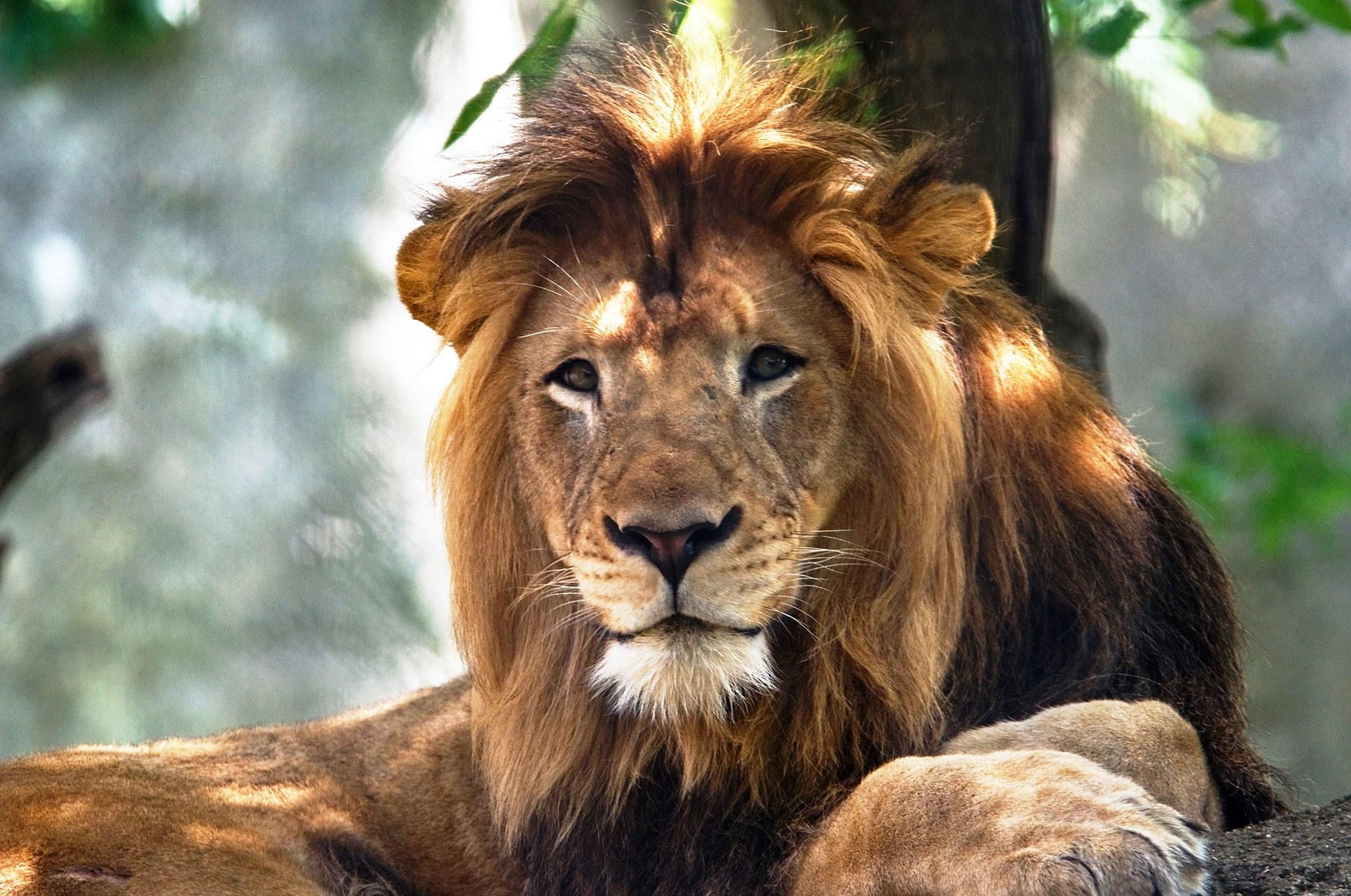 В зоопарке США львица расправилась с отцом своих детей