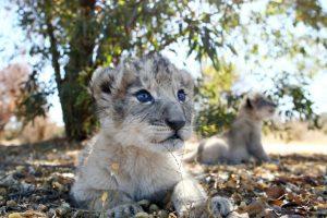 Ученые показали первых львят «из пробирки»