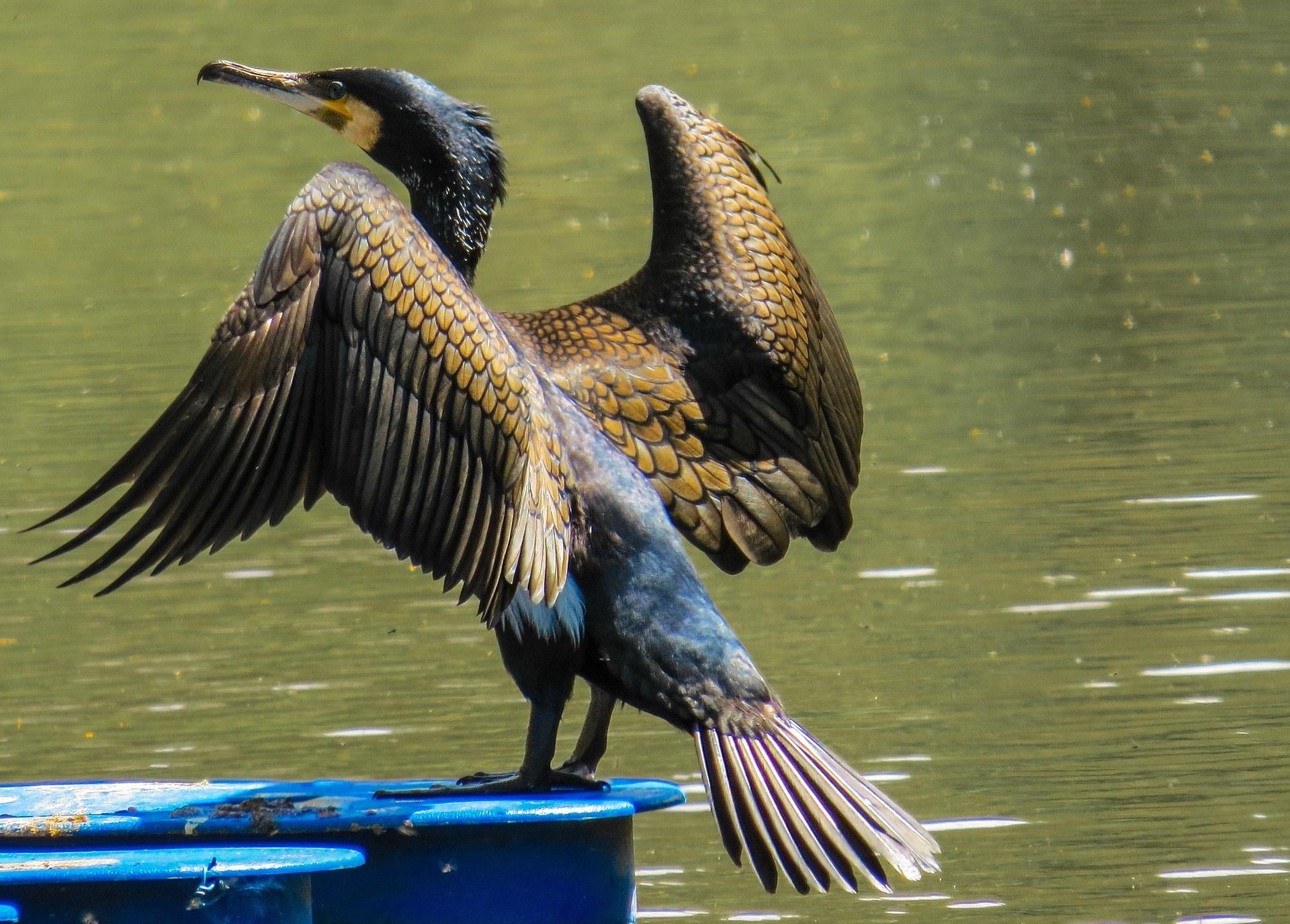 рисунком присутствует фото птиц бакланов молитвы обеспечат упокой