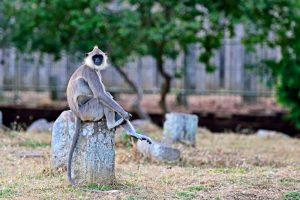 В Индии обезьяна рулила автобусом с пассажирами